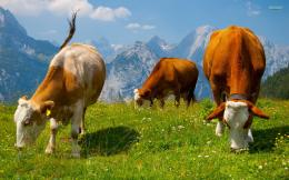 Cool Cows In The Alps Computer Background 221