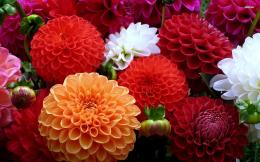 Colorful dahlias wallpaper flower wallpapers 17985 1610