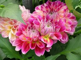 Dahlias Flowers Loose Leaves HD Wallpaper 865