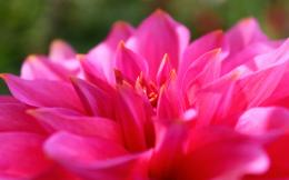 Pink Dahlia Flower HD Wallpaper Pink Dahlia Flower HD Wallpaper 1113
