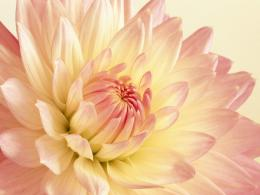 Beautyfull Dahlia HD wallpapersBeautyfull Dahlia 697