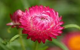 pink dahlia flower wallpaper name pink dahlia flower category flowers 534