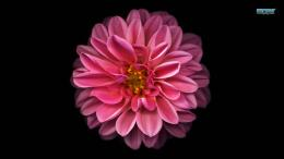 Dahlia Flowers Wallpapers 659408 797