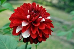 svetik red and white dahlia flower wide high definition wallpaper 901