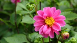 dahlia hd wallpaper flowers awesome beautyfull dahlia wallpaper 1249