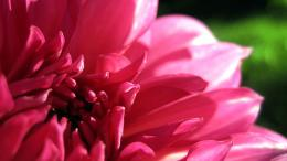 wallpaper flower dahlia wallpapers flowers 1920x1080 262