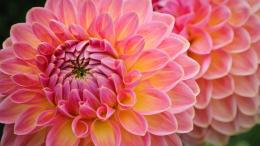 WALLPAPER IMAGE DESCRIPTION FOR LOVELY DAHLIAS 1239