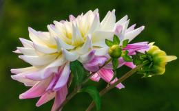 flower 20140103 1804510052 Widescreen Dahlia Flower Wallpaper HD 371