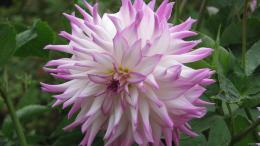 Download Pink Dahlia HD Wallpaper 469