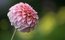 dahlias flowers wallpaper dahlias flowers wallpaper dahlias flowers 1293