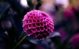 Purple Dahlia Flower HD Wallpapers 1608