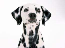 dalmatian dog high definition wallpapers beautiful desktop backgrounds 1552