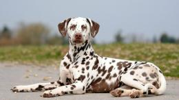 Dalmatian dog spotted pet animals 1162