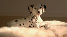 Dalmatian Dog HD Wallpapers 1418
