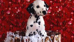 Cute Dalmatian puppy HD Wallpaper 1920x1080 1882