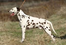 beautiful dalmatian dog hd wallpapers lovely desktop photographs 320