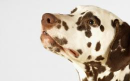 Dalmatian wallpaper download 1478