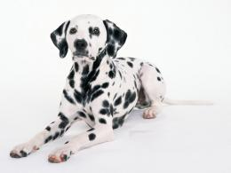 dalmatian dog hd wallpapers desktop backgrounds widescreen 1330