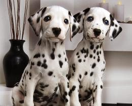 beautiful dalmatian dog hd wallpapers lovely desktop photographs 1587