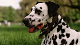 Dalmatian Dog HD Wallpapers 1468