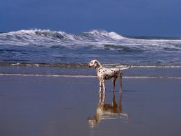 Dalmatian Dog HD Wallpapers 1823