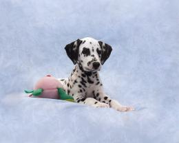 Cute Dalmatian Puppy in bed 1815