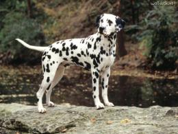 lovely dalmatian dog hd wallpapers cool desktop widescreen background 1333