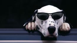 dalmatian dog glasses paws nose animals hd wallpaper 817