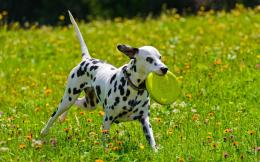 Dalmatian Dog HD Wallpapers 1553