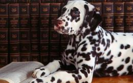 dalmatian dog desktop wallpapers dalmatian dog hd wallpapers dalmatian 631