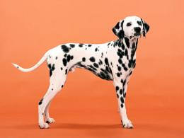 Dalmatian Dog Wallpapers 218