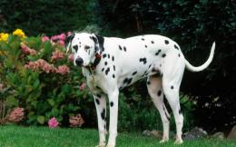 dalmatian dog desktop wallpapers dalmatian dog hd wallpapers dalmatian 1042