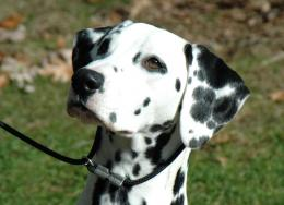 lovely dalmatian dog hd wallpapers cool desktop images widescreen 1796