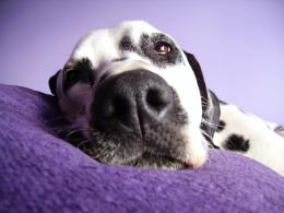 Resting Dalmatian Dog Photo HD wallpaper 1162