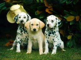 Dalmatian Puppy Hd Wallpapers Picture 1807