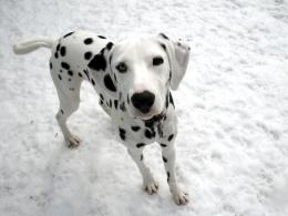 Dalmatian Dog HD Wallpapers 346