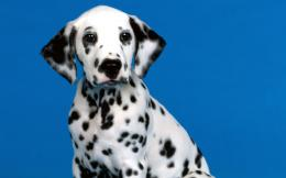 Dalmatian Dog Wallpapers 675