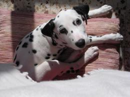 Dalmatian puppi animals dogs HD Wallpaper 1594