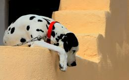 Wallpapers Full HD Dalmatians Dogs 881
