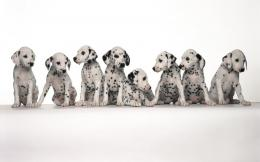 Cute Dalmatian Puppies5 Wallpapers 1011
