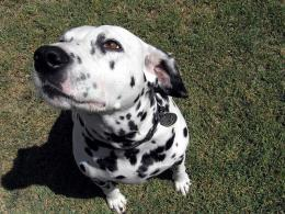 Lovely dalmatian dog wallpaper 1265