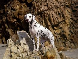 Dalmatian Dog HD Wallpapers 161
