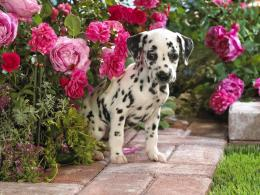 Cute Dalmatian Puppies5 Wallpapers 112