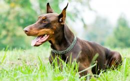 Doberman dog hd wallpapers 248