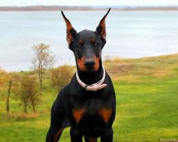Doberman Wallpapers 903