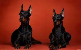 Doberman dog hd wallpapers 1980