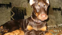 Doberman dog pinscher Animals 380