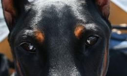 Doberman EyesDogs Wallpaper 2000
