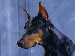 Doberman Pinscher Dogs Pictures HD Wallpaper 1434