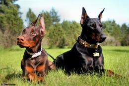 Doberman dog hd wallpapers 1570